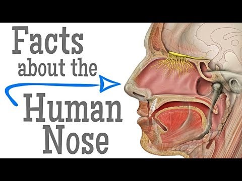 Facts about the Human Nose for Kids