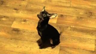 Эмоциональная собака Той терьер