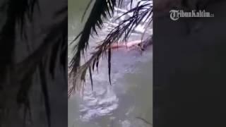 VIDEO Setelah Diterkam Jasad Syarifuddin diantar Buaya Hingga di Tepi Sungai