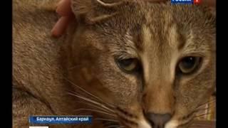 Барнаульская кошка на миллион прославилась на всю страну