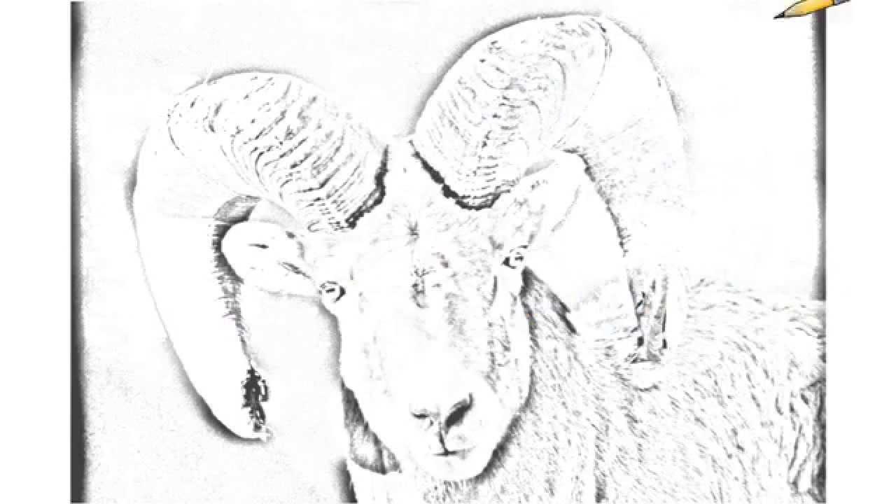 This is an image of Canny Bighorn Sheep Drawing