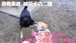 リスタシェルターからお送りします❗ ゴンちゃんとミコちゃんは、福島第...