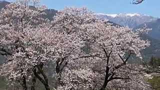 Repeat youtube video 仁淀川町・ひょうたん桜、中越家しだれ桜めぐり