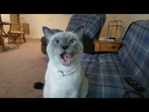 """Siamese Cat Does Tricks"""