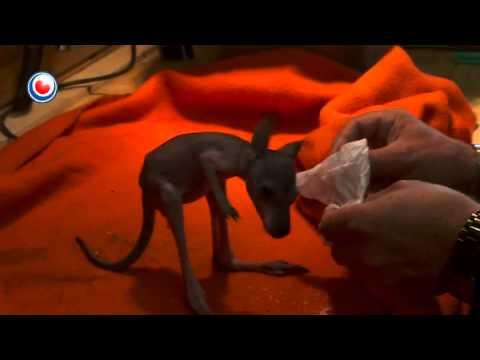 Baby Walibi Cuteness overload - Kangaroo hand fed by Human