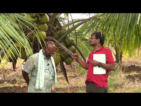 In short period fast yield by coconut farming technique