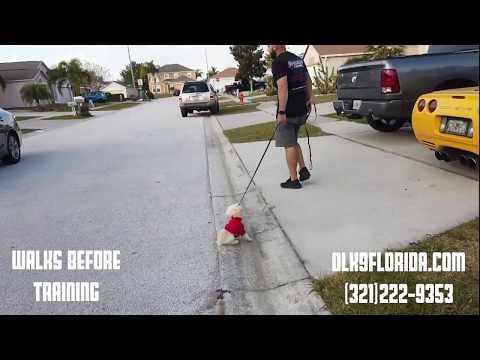 """7 Month Old Toy Golden Doodle """"Ruby""""/ Dog Trainer / Orlando Dog Trainer"""