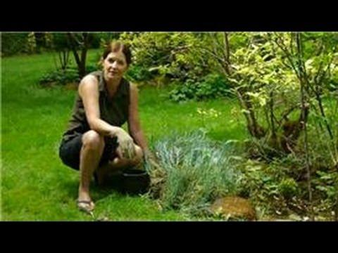 Transplanting & Maintaining Garden Perennials : How to Divide & Transplant Dianthus