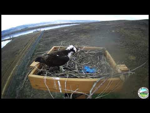 OSMP Osprey Cam ~ Fish For Mate But Mate Is Missing, April 01, 2020