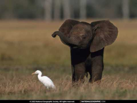 Baby elephant walk youtube - Cute elephant pictures ...