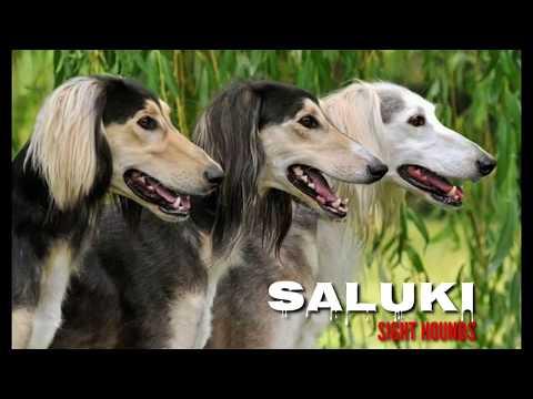 RARE Indian Saluki (Pashmi) Puppies. Feathered Variety of Mudhol Hounds (Caravan Hounds) Karwani