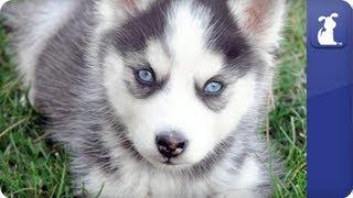 Siberian Husky - Doglopedia