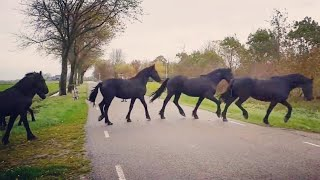 You'll never believe what these amazing Friesian horses are doing!!