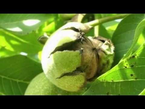 Народная медицина - орех грецкий