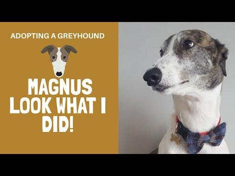 Adopting a greyhound - Magnus look what I did!