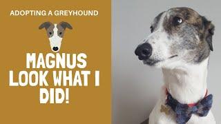 Adopting a greyhound  Magnus look what I did!