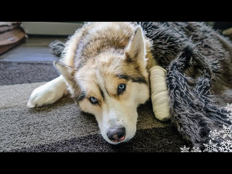 SHELBY HAS SURGERY  😥Husky goes in for Surgery at the Vet