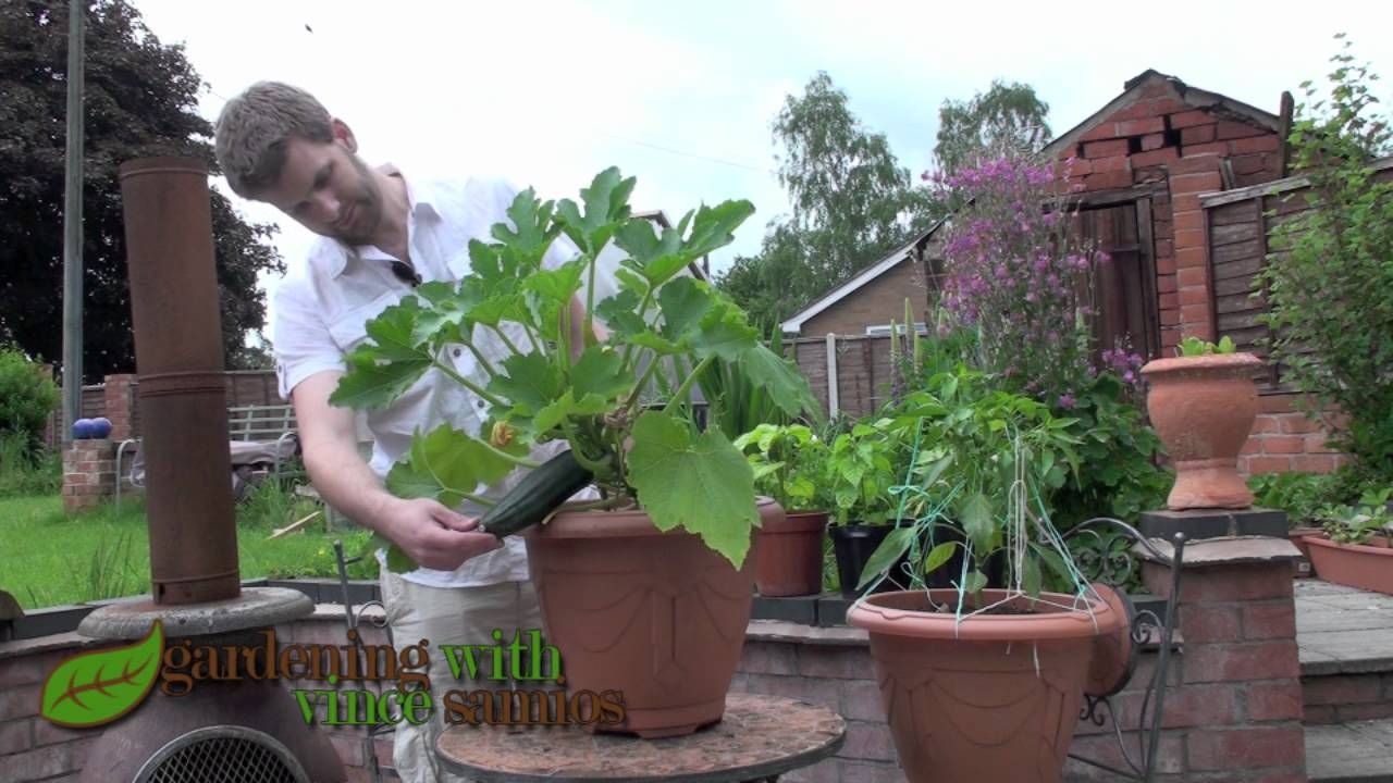 growing zucchini courgette plants in a pot youtube. Black Bedroom Furniture Sets. Home Design Ideas