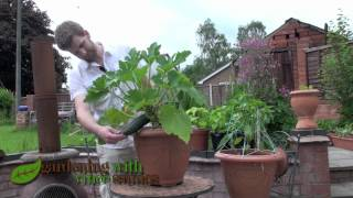 Growing Zucchini (Courgette) Plants in a Pot.
