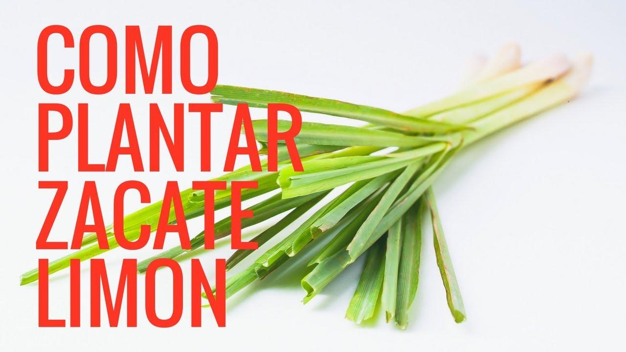 Como Plantar Zacate Limón Y Sus Beneficios Medicinaleshuerto En