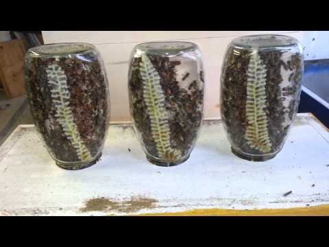 Bees Making Honey Comb in the Jar