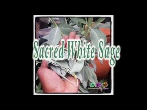 Sacred White Sage Uses And Benefits!