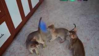Смешные Кошки котята абиссинские  Funny Cats Abyssinian