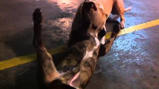 Dangerous Pitbull Terrier Attack Staffordshire Bull Terrier