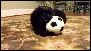 Our first Black Russian Terrier Puppy