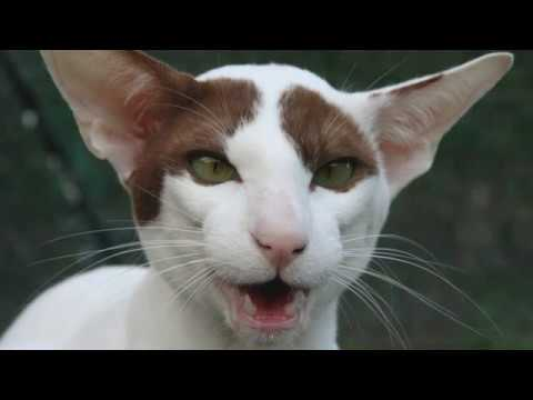 Oriental Bicolor - cat breed