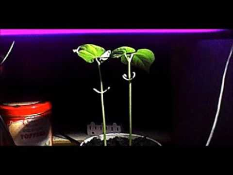 Navy Bean 6 days of growth