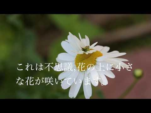 不思議なフランス菊