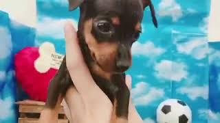 ペットショップ 犬の家 尼崎店 「85033:ミニチュア・ピンシャー」