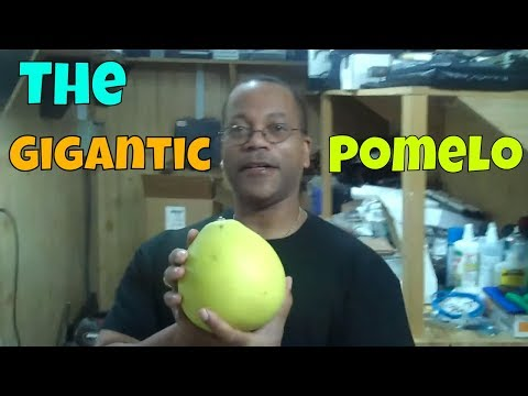 The Pomelo, Largest of the citrus fruits!!