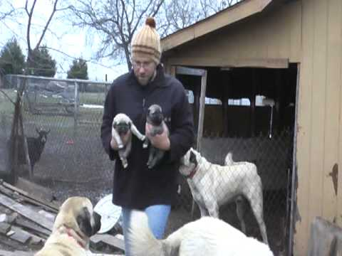 New Anatolian Shepherd (Kangal) Puppies