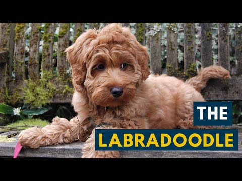Labradoodle: Your Guide To This Cute Labrador Poodle Mix!