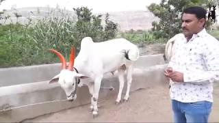 डाॅक्युमेंट्री  सम्रुद्धी ग्रुप   तुकाराम रामचंद्र कडलक   नवलाख उंब्रे   गाव गाडा  Bullock cart Race