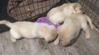 English Labrador Retriever Puppies 5 weeks old!