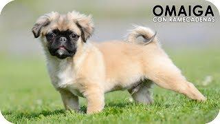 Top 10 Cruza De Perros Tremendamente Adorables Y Cariñosos