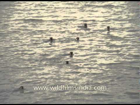 Otters galore in the Brahmaputra river