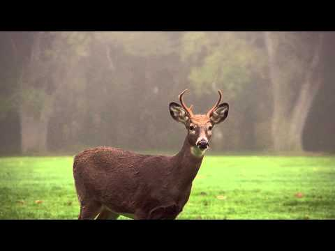 Deer (Free to Use HD Stock Video Footage)