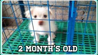 JAPANESE SPITZ CROSSBREED SHIHTZU ( 2 MONTH'S OLD ) l DER DOGS