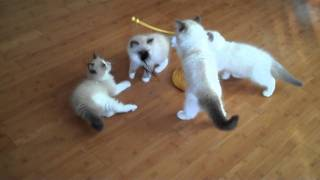 Ragdoll Kittens Play Day 2011.mp4