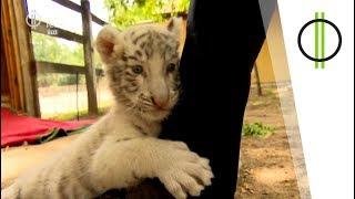 Fehér kistigrisek – és Réti Nóri