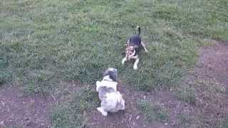 Ernie The Jack-a-bee (jack Russell, Beagle) And Duffy At The Perkasie Dog Park