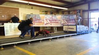 Ukc Show Dog Beast At Apa Nationals