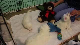 Coton Puppy For Sale - Emma 12/17/19