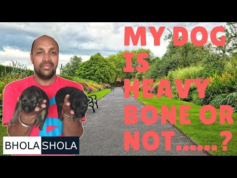 Pet Care - My Dog is Heavy Bone or Not -  Bhola Shola