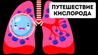 Путешествие кислорода по организму