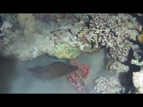 Diveworld Videos   Moray Vs Scorpionfish